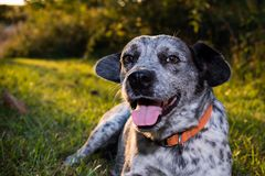 Catahoulla blue tick hound dog laying in the grass Stock Photos