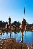 Catail в пруде Стоковое Фото
