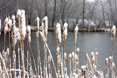 catails λίμνη Στοκ φωτογραφία με δικαίωμα ελεύθερης χρήσης