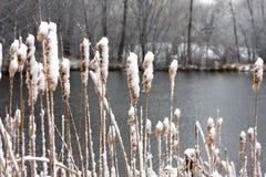 Catails en el lago Foto de archivo libre de regalías