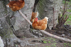 Catalan Chicken Stock Image
