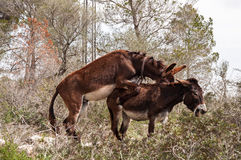 Catalan donkeys mating Stock Image