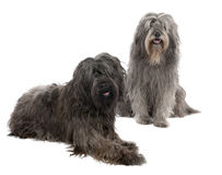 Catalan Sheepdog (6 and 3 years old) royalty free stock photo