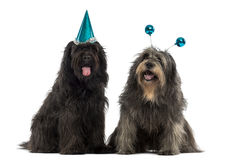 Catalan sheepdogs wearing party hats, panting, Stock Image