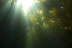 catalina森林海岛水下海带的阳光 库存照片