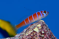 Catalina Goby Photo libre de droits