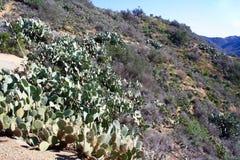 Catalina Island Cactus auf Gebirgsseite Lizenzfreies Stockfoto