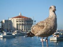 Catalina kasyno i Seagull Fotografia Royalty Free