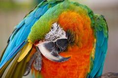 Catalina Macaw Immagini Stock Libere da Diritti