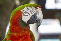 Catalina Macaw Royaltyfria Bilder