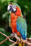 Catalina Macaw Στοκ Φωτογραφίες
