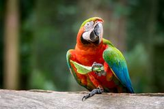 Catalina Macaw Eating Leaf stock foto