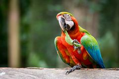 Catalina Macaw Eating Leaf royalty-vrije stock afbeelding