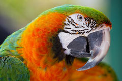 Catalina Macaw Royalty Free Stock Photography