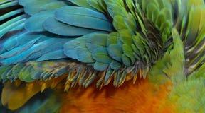 Catalina Macaw Hybrid entre l'ara d'écarlate et l'ara bleu et jaune photo libre de droits