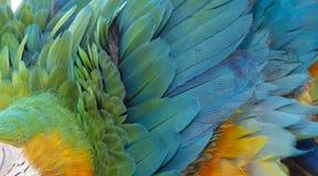 Catalina Macaw Hybrid entre l'ara d'écarlate et l'ara bleu et jaune image libre de droits