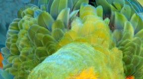 Catalina Macaw Hybrid entre l'ara d'écarlate et l'ara bleu et jaune photos libres de droits