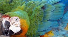 Catalina Macaw Hybrid entre o escarlate da arara e a arara azul e amarela Imagens de Stock Royalty Free