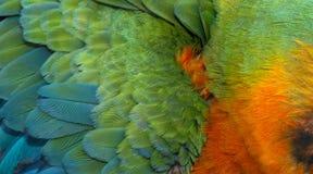 Catalina Macaw Hybrid entre o escarlate da arara e a arara azul e amarela Fotografia de Stock