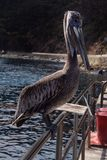 Catalina Pelican Stockbild