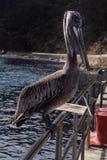 Catalina pelikan Obraz Stock