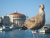 Catalina Seagull and Casino Royalty Free Stock Photography