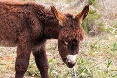 Catalonian donkey Stock Image