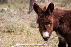 Catalonian donkey Stock Images