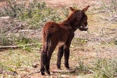 Catalonian donkey Royalty Free Stock Photography