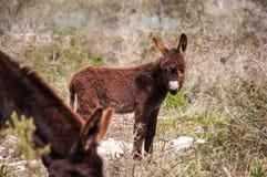 Catalonian donkey Stock Photography