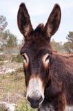 Catalonian donkey Royalty Free Stock Photo