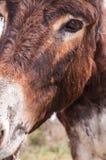 Catalonian donkey Stock Photos