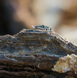Catalonian Wall Lizard behind log. A Catalonian Wall Lizard - Podarcis liolepis - looking from behind a log in southern Europe Royalty Free Stock Photo