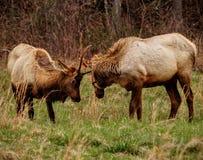 Cataloochee Elk Stock Photography