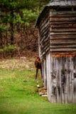 Cataloochee Elk Stock Images