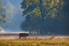 Cataloochee Valley in Smokey mountains with male elk and mist Royalty Free Stock Photos