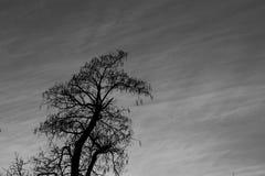Catalpa树在12月 免版税库存图片