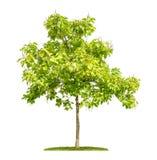 Catalpa树用在白色背景的果子 免版税图库摄影