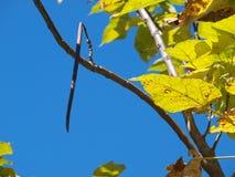 Catalpa树豆从分支垂悬 免版税库存照片