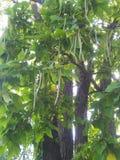 Catalpa树 库存图片