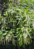 Catalpa bär frukt gemensamma Catalpa bignonioides Walter, gräsplan Arkivfoton