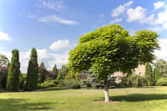 Catalpa. On a beautiful summer meadow against the blue sky Royalty Free Stock Photography