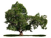 Catalpa bignonioides - cigar tree Royalty Free Stock Photos