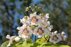 Catalpa. Bignonioides, commonly known as the southern , cigar tree, and Indian bean tree Royalty Free Stock Photos