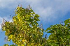 Catalpa bignonioides. A deciduous tree of the family Bignoniaceae (Bignoniaceae Royalty Free Stock Images
