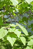 Catalpa bignonioides with fruits. Leaves of catalpa bignonioides and fruits Stock Photo