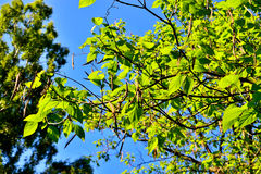 Catalpa bignonioides. Leaves and fruits closeup. Against the blue sky Royalty Free Stock Images