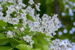 Catalpa bignonioides medium sized deciduous ornamental flowering tree, branches with groups of white flowers and green leaves. During late spring Royalty Free Stock Images