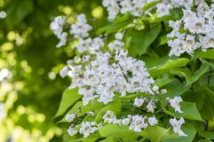 Catalpa bignonioides medium sized deciduous ornamental flowering tree, branches with groups of white flowers and green leaves. During late spring in sunlight Stock Photo