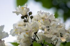 Catalpa bignonioides medium sized deciduous ornamental flowering tree, branches with groups of white flowers and green leaves. During late spring Royalty Free Stock Photos